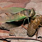 An adult Cicada emerging from its nymph skin by DigitallyStill