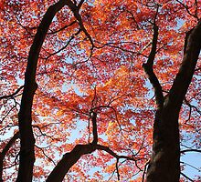 Red Maple  by Kelly Morris