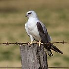 Black Shouldered  Kite by Kym Bradley