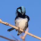 Preening Blue Wren by Kym Bradley
