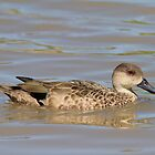 Grey Teal  Duck by Kym Bradley