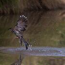 Bathing Wattle Bird,  VERY early morning by Kym Bradley