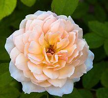 Shrub Rose 'Grace' by Dency Kane