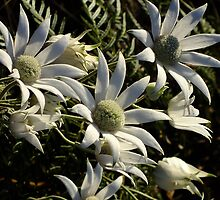 Flannel Flowers and Then They were Gone! by Gabrielle  Lees