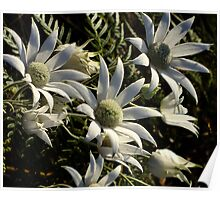 Flannel Flowers and Then They were Gone! Poster