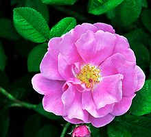 Rosa gallica officinalis by Dency Kane