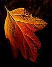 Autumn Leaf by cclaude