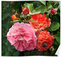 Floribunda Rose 'Brothers Grimm' Poster