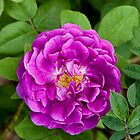 Hybrid Gallica Rose 'Burgundian Rose' by Dency Kane