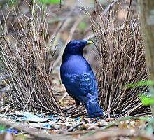 Male Satin Bowerbird at its bower_Lamington NP by Alwyn Simple