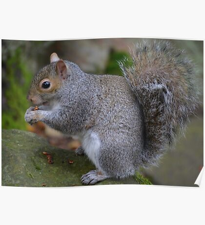 Squirrel Eating Poster