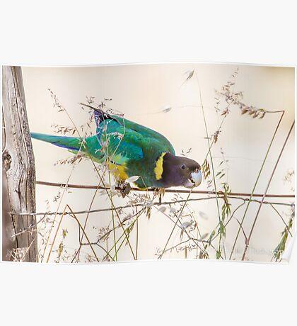 Australian Ringneck Parrot Poster
