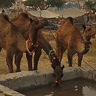 Camels Drinking Water by ammartz