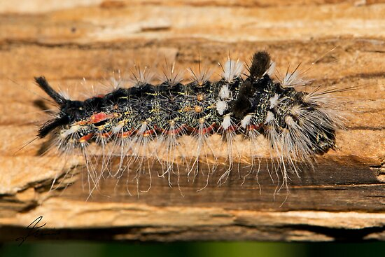 Tussock Moth Caterpillar by DigitallyStill