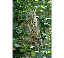 Long Eared Owl Photographic Print