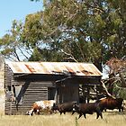Cattle and Corrugated Iron by indiafrank