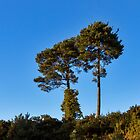 Scottish Lonesome Pines by JASPERIMAGE