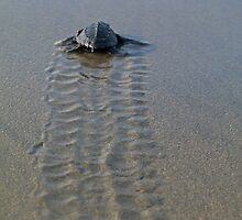 Hatchling Olive-Ridley sea turtle by William Mertz