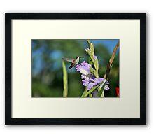 Hummingbird in Lavender  Framed Print