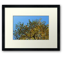 Tulip Tree in the Autumn Framed Print