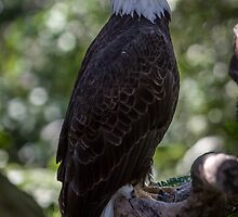 Bald Eagle by Edvin  Milkunic
