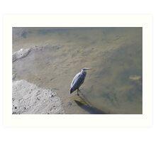 Heron Hunting in St Andrews Harbour Art Print