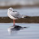 Bonaparte Gull by (Tallow) Dave  Van de Laar