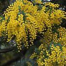 Wattle in bloom - Stokes Bay Bush Garden, Kangaroo Island by Dan & Emma Monceaux