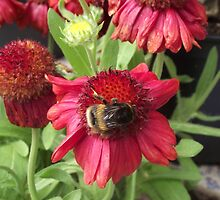 Bumblebee on Flower by TheShutterbugsG