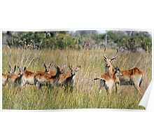 Red Lechwe in the Delta Poster