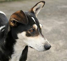 Black Brown and White Dog by rhamm