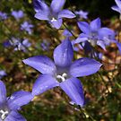 Wahlenbergia stricta in bloom - Adelaide, South Australia by Dan & Emma Monceaux