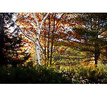 White Birch Morning Photographic Print