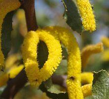 Acacia denticulosa by lezvee