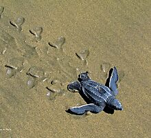 Hatchling leatherback sea turtle by William Mertz