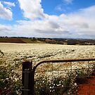 pyrethrum paddocks - Ulverstone by gaylene