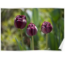 Grape Tulips Poster