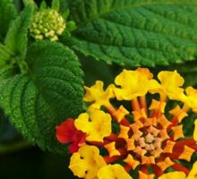 Red and Yellow Lantana Flower and Green Leaves Sticker