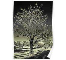 Outback Mulga tree  (duotone) Poster