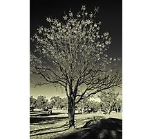 Outback Mulga tree  (duotone) Photographic Print