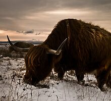 Highland Cow by Newhaven