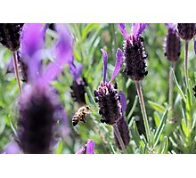 as the bee flys Photographic Print