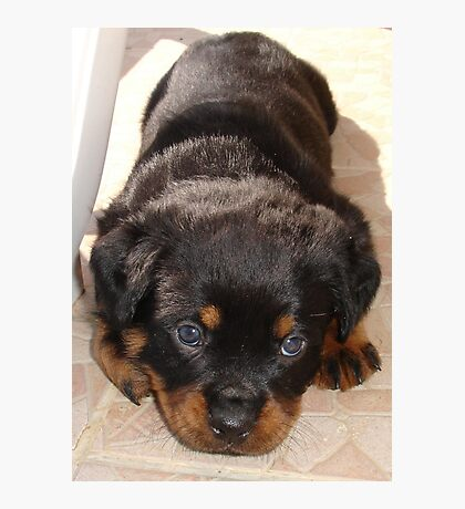 Cute Rottweiler Puppy With Head On Paws Photographic Print