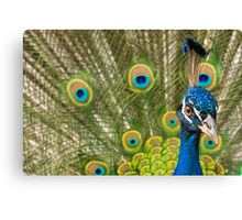 Indian Peafowl Canvas Print