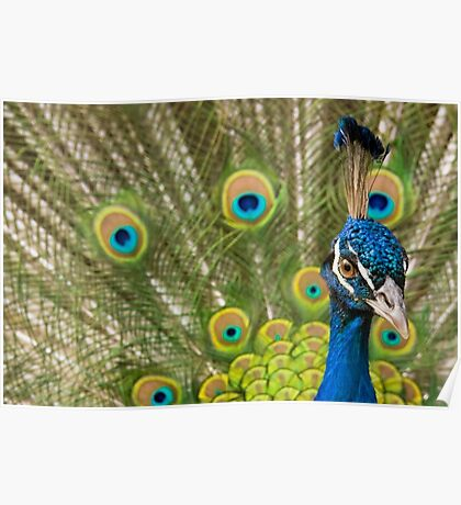Indian Peafowl Poster
