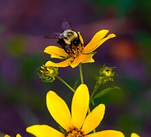 2013 Sept Bumble Bee on Jerusalem Artichoke by Rick  Grisolano Photography LLC