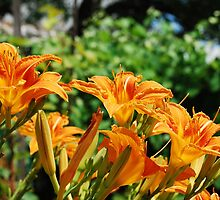 Wild Orange Lilies by jojobob