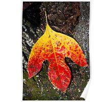 Single Autumn Sassafras Leaf Poster