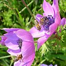 Honey Bees Feeding On  Pink Anemone Flower Blossom by taiche