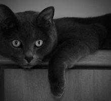 Russian Blue cat by Anne Staub